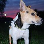 夜しか犬の散歩ができない人へ!犬用散歩ライトを準備しよう
