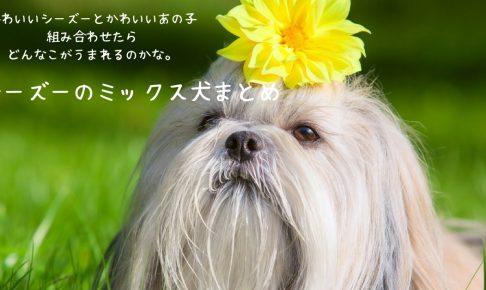 シーズーのミックス犬がかわいすぎる!
