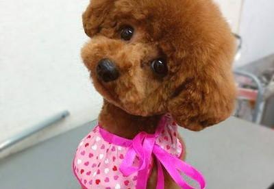 犬の美容室 Love and Peaceトリミング後トイプードル写真