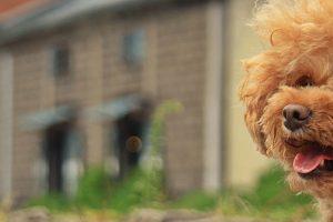 愛犬のトイプードルの目が腫れている。これって目の病気?