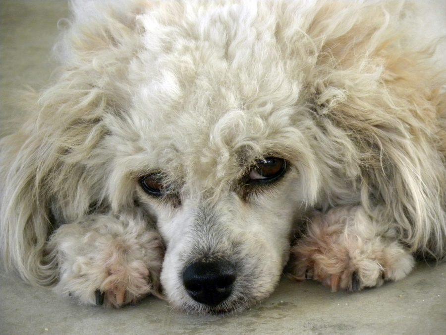 【獣医師監修】犬の死因第一位はガン。知っておこうリンパ腫について